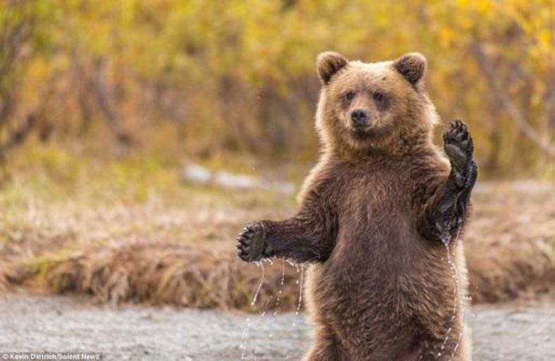 حديقة حيوانات: تبنوا هذه الدببة أو سنضطر لقتلها