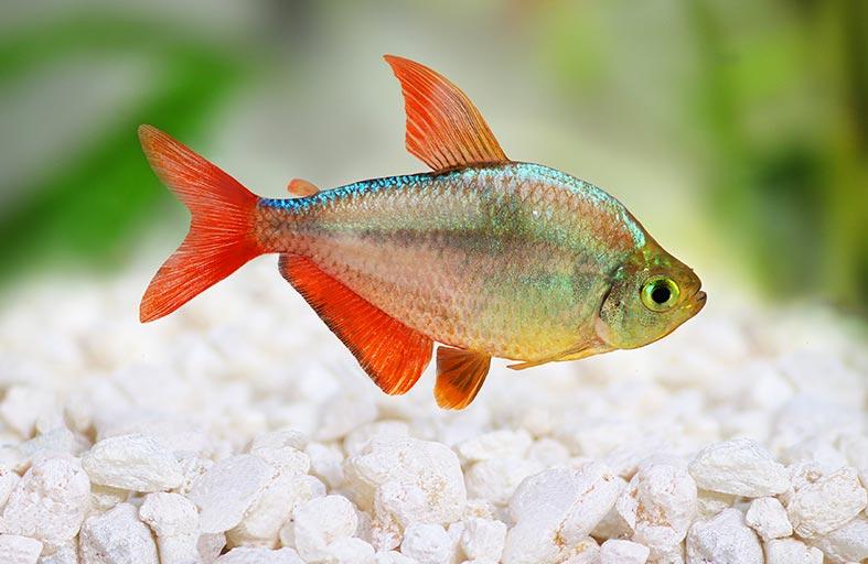 سمكة التترا .. قدرة مدهشة على إصلاح قلبها بنفسها
