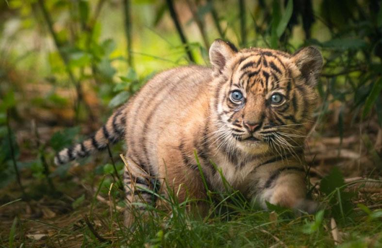ولادة نمر سومطري نادر في حديقة بولندية