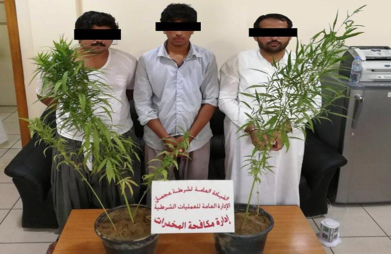 شرطة عجمان تقبض على عصابة زراعة الماريجوانا المخدرة