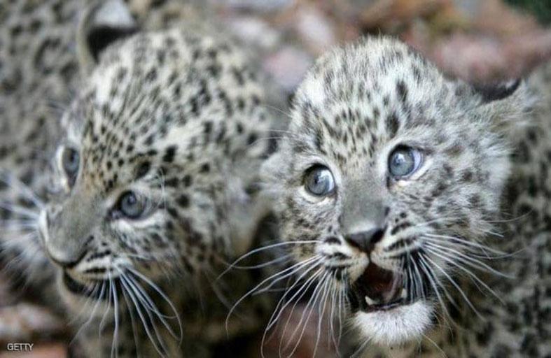 ولادة 3 نمور فارسية مهددة بالانقراض