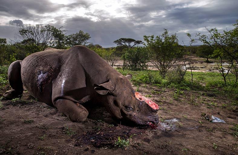 «اكسبوجر  2017» يروي معاناة الحيوانات وقسوة صائدي الجلود والعاج