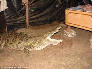 تمساح في منزل الزوجية