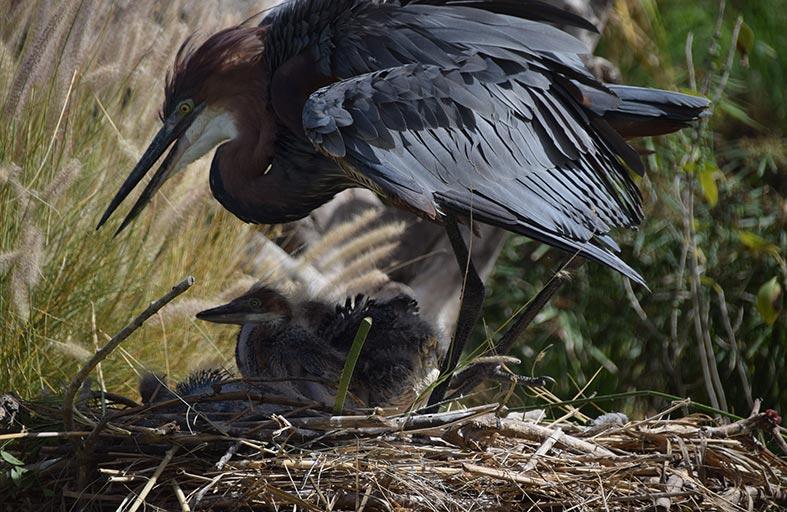 مركز واسط للأراضي الرطبة بالشارقة يشهد تفريخ ثلاثة من طيور بلشون الجبار المهدد بالانقراض