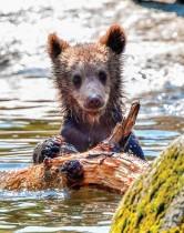 شبل الدب يستمتع في بركة مبردة في حديقة حيوان استوكهولم في سكانسن حيث كانت درجة الحرارة 30 درجة مئوية. ا ف ب