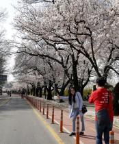 فتاة تقف لالتقاط صورة بالقرب من شارع على جانبيه أزهار الكرز، وسط إغلاق لتجنب انتشار فيروس كورونا في سيول، كوريا الجنوبية. رويترز