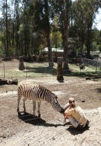 حارسة تجلس وترعى حمارا وحشيا في حديقة حيوانات أوكلاند ، كاليفورنيا. وقد سرحت الحديقة نصف موظفيها بعد جائحة كورونا.    ا ف ب