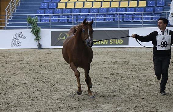 تصدر ثلاثة من الخيول المركز الأول على رأس مجموعاتها المشاركة خلال منافسات اليوم الأول والثاني في مهرجان الشارقة للجواد العربي الإنتاج المحلي