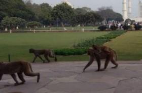الهند: خطة للدفاع عن ترامب من هجمات القرود...!