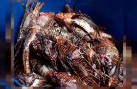 سمكة التنين مطلوبة نافقة أو مشوية!