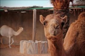 افتتاح قسم الجمال في حديقة الإمارات للحيوانات بالباهية