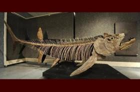 سمكة تناطح الديناصورات.. اكتشاف عمره 70 مليون سنة