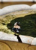 طائر تريبي الرمادي يقف لتشرب من مياه نافورة في يوم حار بمدينة تايبيه التايوانية الجديدة. ا ف ب