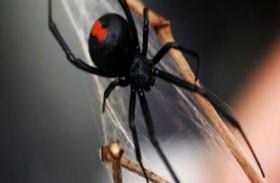لدغة عنكبوت تتسبب بفشل كلوي لامرأة