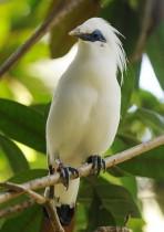 الطائر النادر والمعرّض للانقراض المعروف محليا باسم جالاك بالي ، يقف على غصن شجرة بعد إطلاقه في متنزه بالي سفاري في ريجنسي جيانيار في جزيرة بالي الأندونيسية. ا ف ب.
