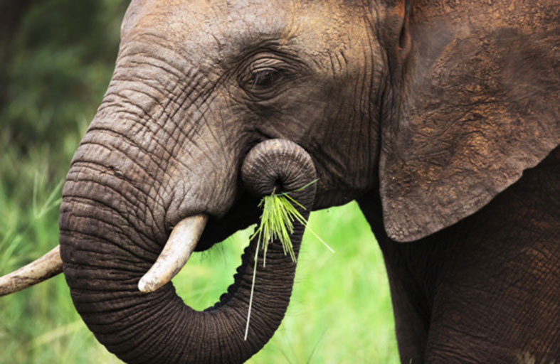 حمية غذائية لأنثى فيل