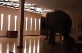 فيل ضخم داخل بهو فندق