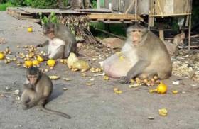 حمية غذائية لقرد بسبب التهامه وجبات السائحين