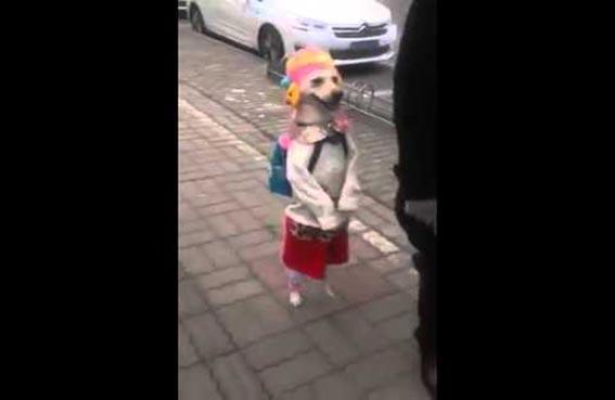 كلب يمشي على قدمين