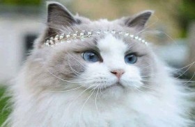 هذه هي ملكة جمال القطط