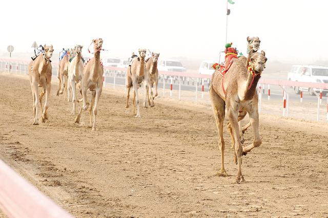 سلطان بن حمدان يتفقد آخر الاستعدادات لانطلاقة المهرجان الختامي لسباقات الهجن في الوثبة