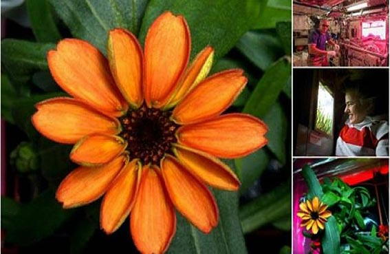 أول نبتة تزهر في الفضاء