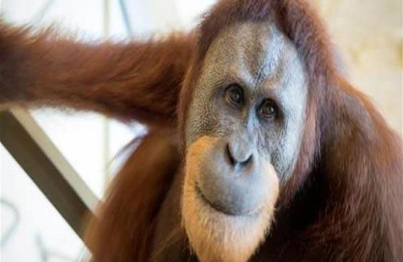 القرد الذي تعلم لغة البشر
