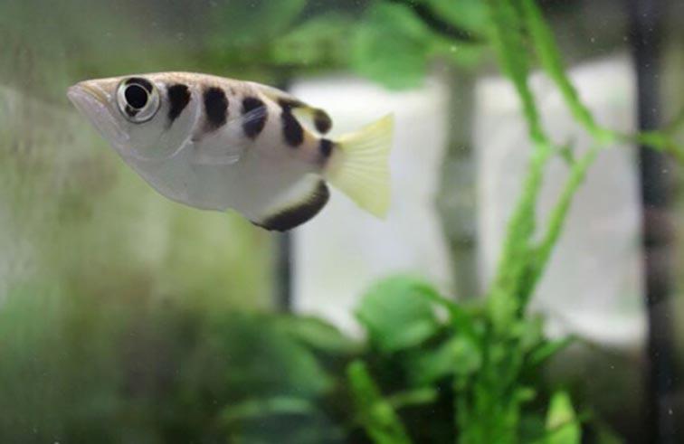 سمكة تتعرف إلى الوجوه
